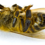 EPA Approves Pesticide Highly Toxic to Bees