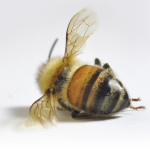 dead bee