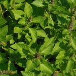 The Amazing Health Benefits of Holy Basil