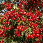 The Health Benefits of Hawthorne Berry