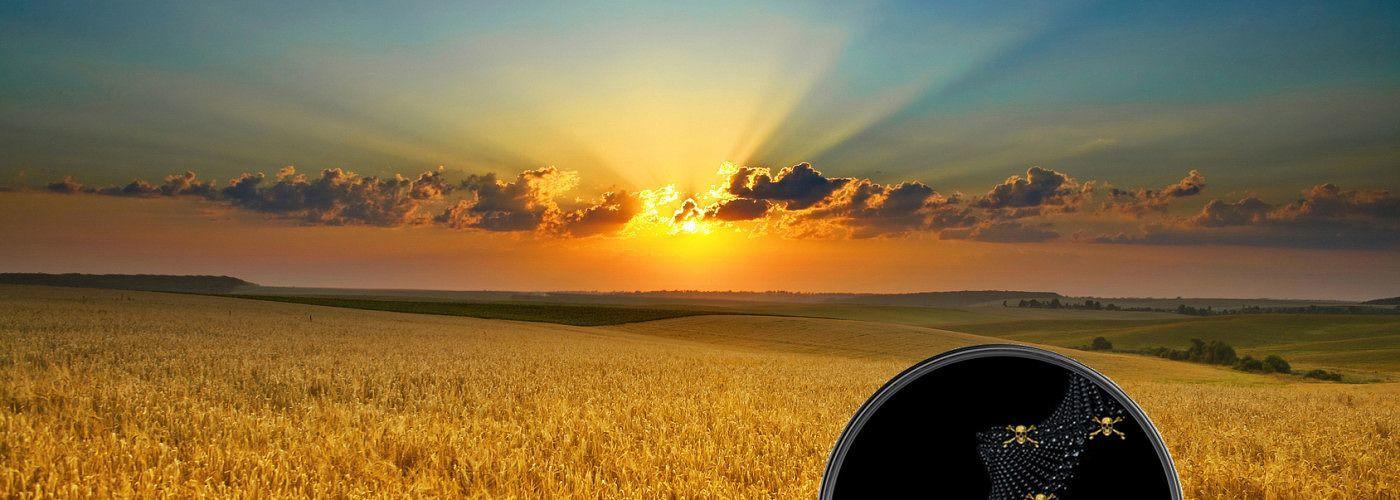 GMO Wheat Field