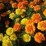 Repel Mosquitoes by Cultivating Marigolds