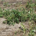 Roundup Resistance is a Growing Problem and Syngenta Offers a Problematic Solution