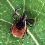 Increased Tick Populations Linked to Decreases in Wildlife Populations