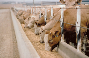 Cattle Feed factory farm